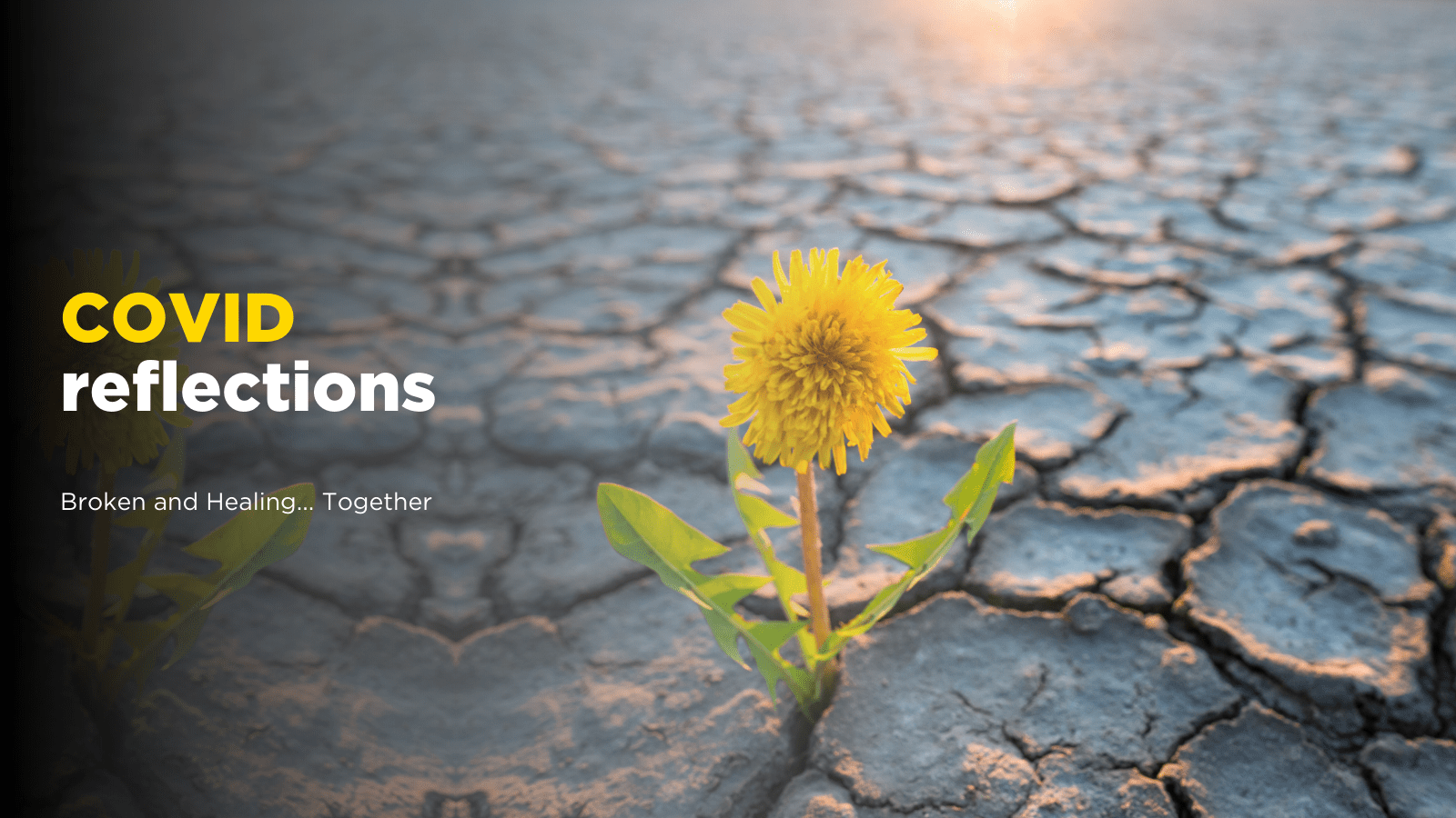 """A dandelion flower breaks through a barren patch of cracked ground. Text reads """"COVID reflections - Broken and Healing together."""""""