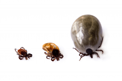 thee ticks at different stages